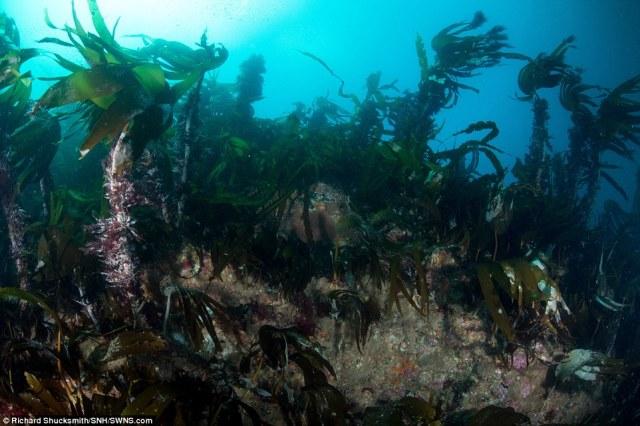 florestas de algas em recifes basilares oferecer proteção e cobertura para caçar focas peixe fora da costa escocesa