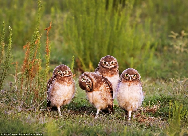 Mario Gustavo Fiorucci won the portfolio category with his image of four pigeon burrowing owls. As they all stare at the camera, one comically tilts its head. Santa Rosa, Argentina