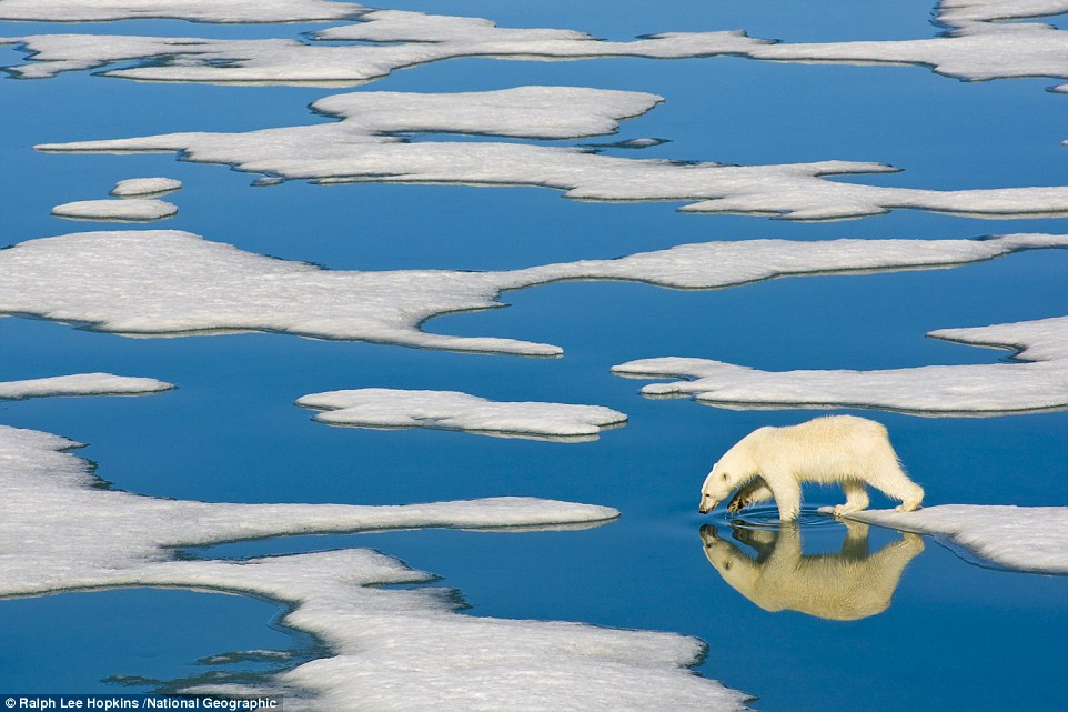 Svalbard, Norway: A polar bear steps along Arctic pack ice