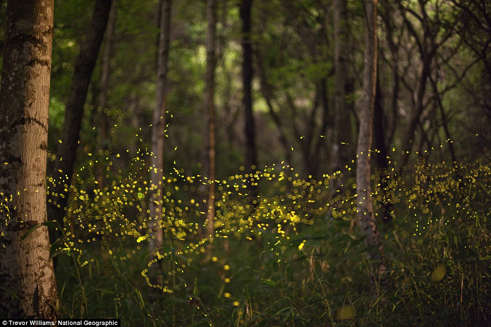 Okayama Prefecture, Japan:  Fireflies form blinking rivers of light in a still woodland