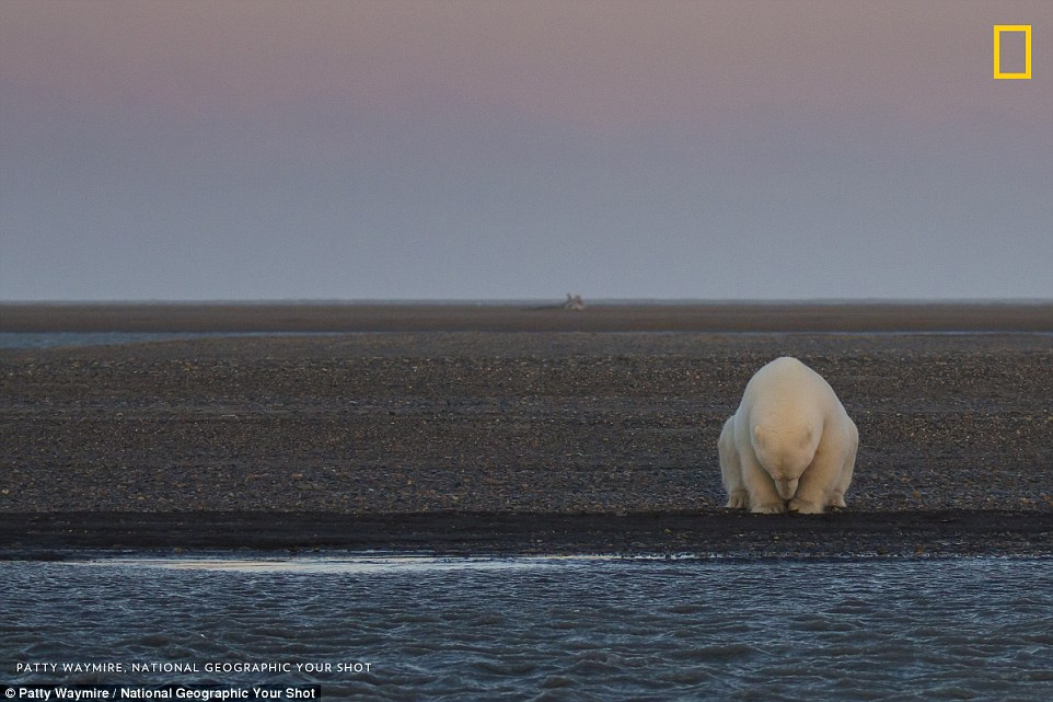'No snow no ice?': Patty Waymire captured this photograph of a solitary polar bear in desperate search of icier climes in the Barter Islands. Locals on the islands, which is found off the coast of Alaska, told how temperatures were unseasonable warm in October, when the photograph was taken