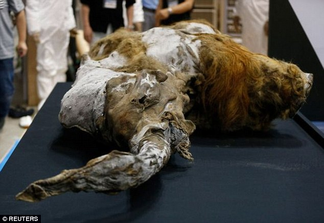 They became extinct thousands of years ago, but now scientists claim they are just two years away from bringing woolly mammoths back from the dead. Pictured is a 39,000-year-old female woolly mammoth found frozen in Siberian ice in 2013