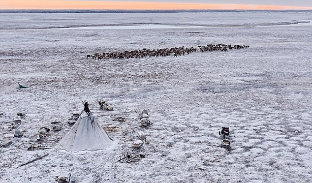 Another problem affecting obesity is that the nomadic routes have been shortened by traditional herders, as they seek to stay close to Russian energy company's facilities to sell the reindeer meat