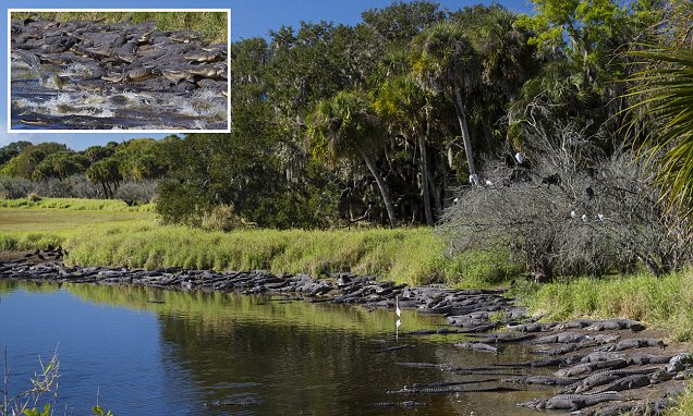 Hundreds of alligators photographed near Florida river