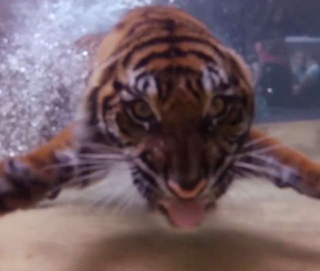 Incredible Footage Shows Tigers Fishing Underwater Daily Mail Online