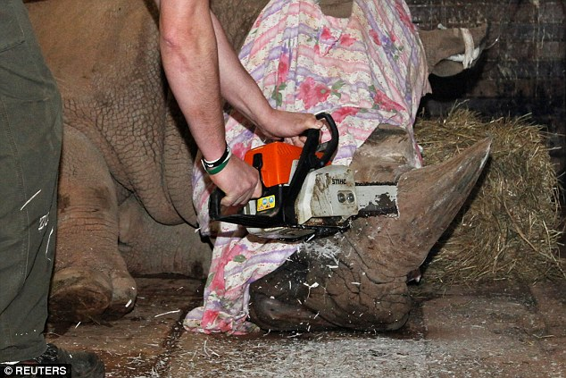 Czech Vets Use A Chainsaw To Remove Rhino's Horns At Zoo