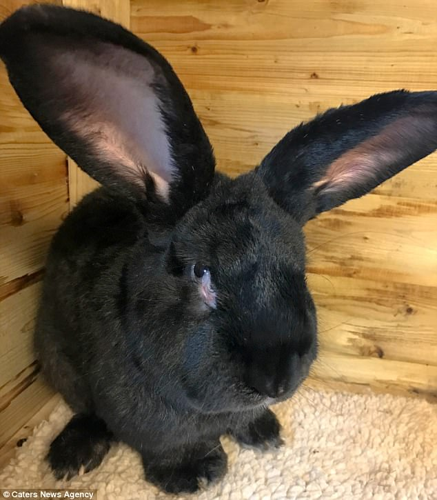 Simon, a three foot long and black-furred bunny (pictured), was expected to  become the largest rabbit in the world. He died after he was flown to Chicago from London last week