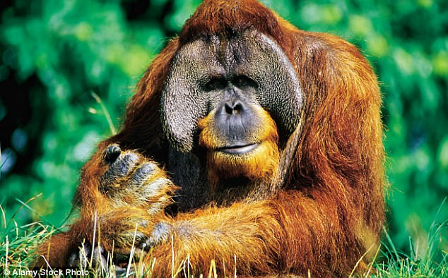 Animal magic: An orangutan at the Durrell Conservation Centre on Jersey