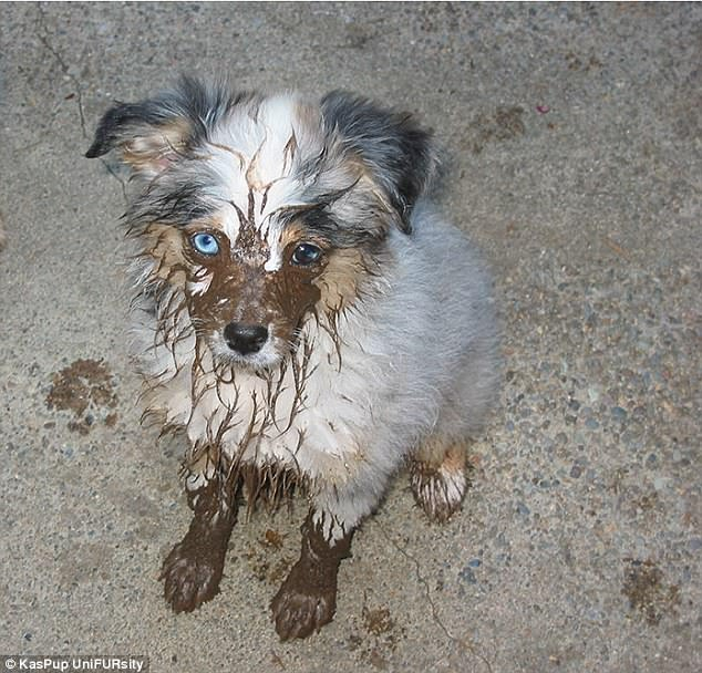 Mucky pup: By showing their puppy dog eyes, this dog hopes to get back in its owners' good books