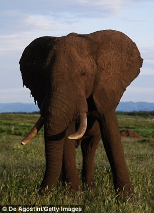 One of the elephants is then said to have picked up Botha with its Trunk (stock image)