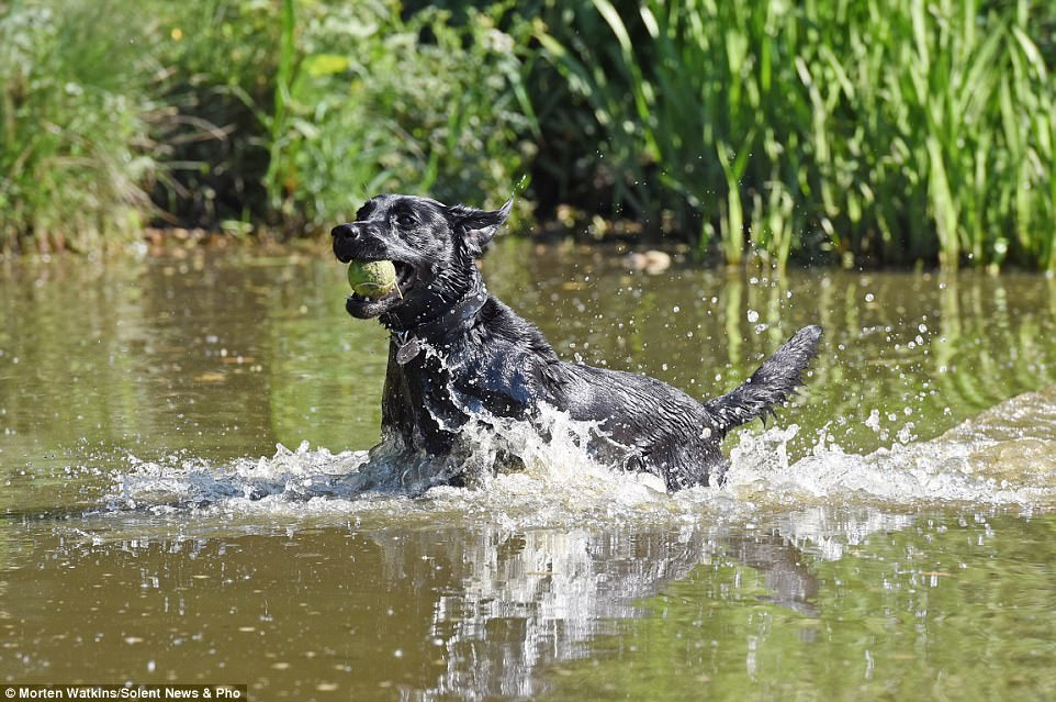 A black Labrador cools down whilst splashing through the Ornamental Lake on Southampton Common to fetch a tennis ball