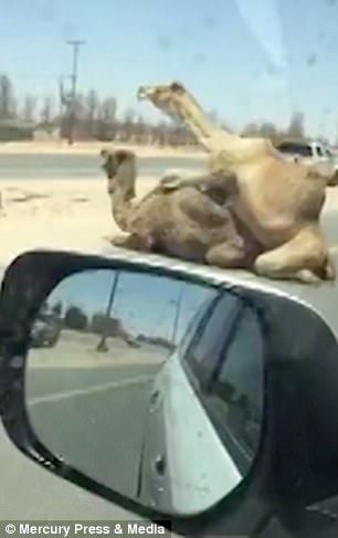 The roadside romp caused massive delays as motorists honked their horns and stopped to take photographs