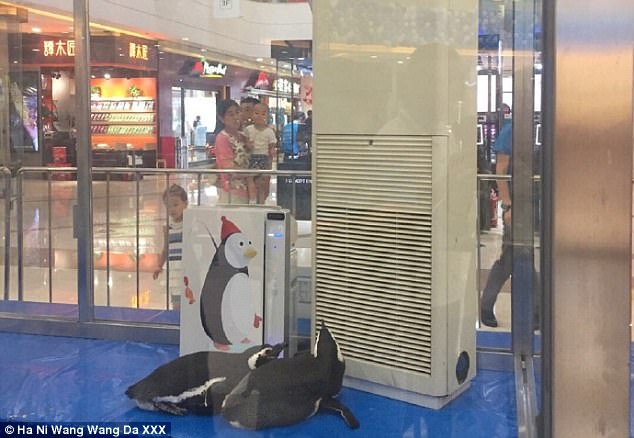 The two penguins were  kept in a glass box in a luxury shopping mall in northern China