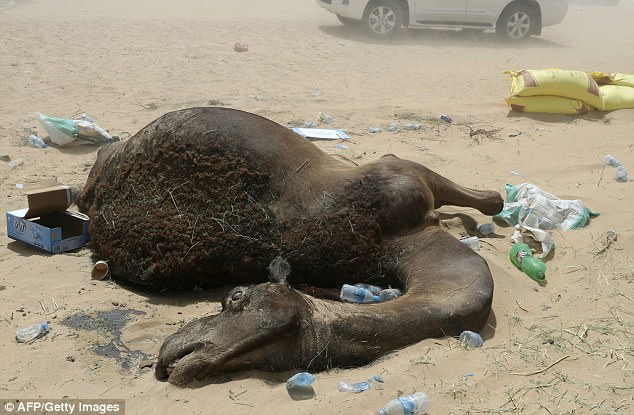 Hundreds of camels have starved or died of thirst after their Qatari owners were forced to leave their grazing lands in Saudi Arabia