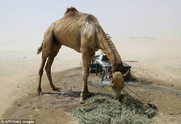 A camel is given food and water after arriving back on the Qatari side of the border