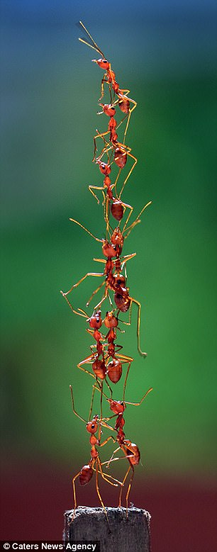 No amount of training or performance-enhancing drugs will enable humans to emulate the physical feats of ants