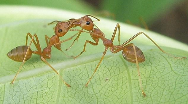 And worker ants look after each other. If you see ants ¿kissing¿, they are feeding each other ¿ a process called trophallaxis