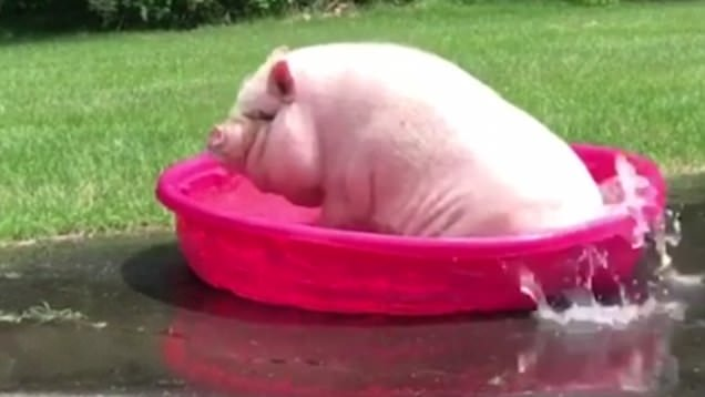 Funny Pig Pictures With Captions Cool Attitude Captions