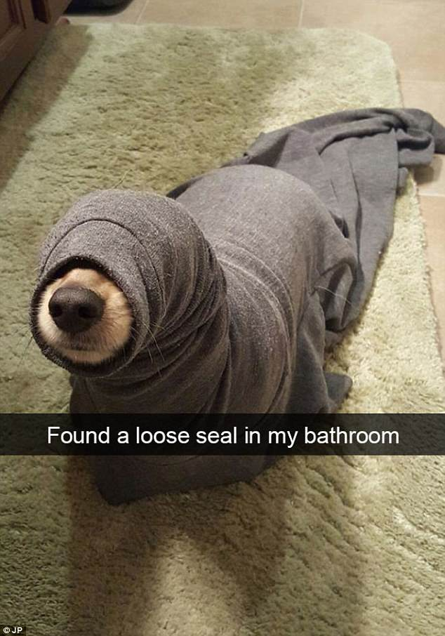 One Imgur user with the username ihopethiscomesoffwitty walked in to find his pet stuck inside what looks like a grey pair of tracksuit bottoms - likening it to a 'loose seal'