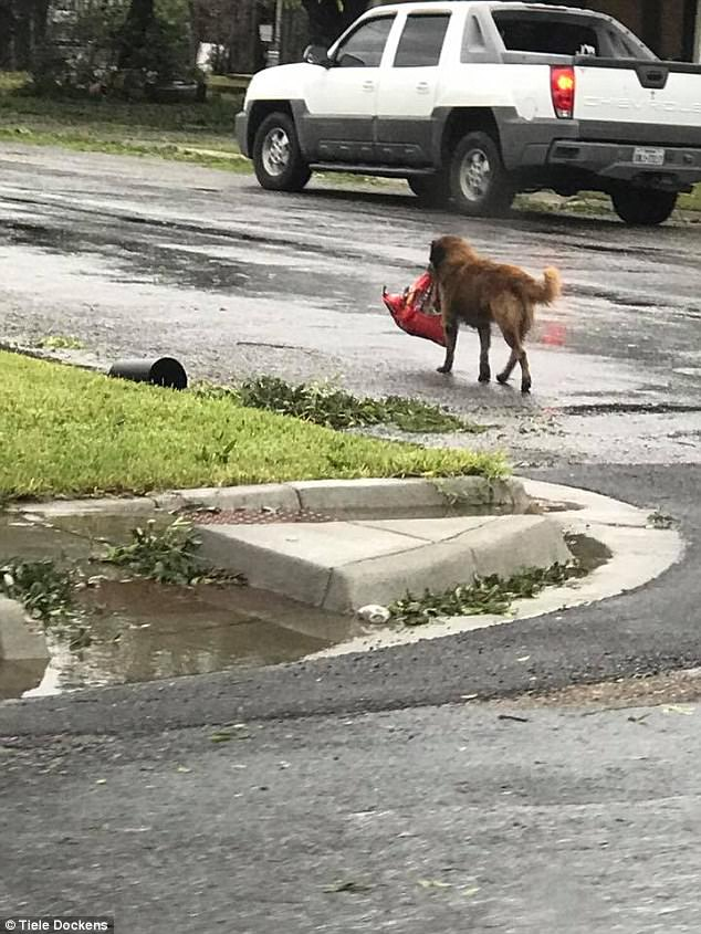 Tiele Dockens was out checking the damage from the storm when she spotted Otis strolling down a storm-damaged street carrying his bag of food. She snapped a photo and it quickly went viral on Facebook