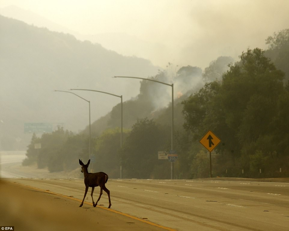 A deer runs along the 210 Freeway, normally packed with vehciles, escaping the fire in Sunland on Saturday