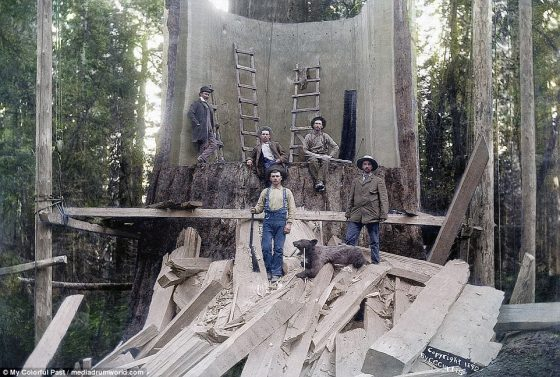 This image, taken in 1892, shows lumberjacks standing in the trunk of a forest giant they have chopped down at Camp Badger in Tulare County, California. The tree went to the Columbian Exposition in Chicago the next year. America's logging industry first took off during the 17th century, when British pioneers began exploring the continent's lush virgin forests after their own domestic timber supply collapsed