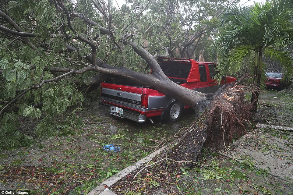 A tree is seen toppled onto a pickup truck in Miami after being battered by Irma's winds. Flying debris is an omnipresent danger for those outside in the terrifying weather