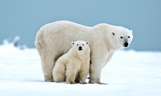 Furry interesting: Spot polar bears on an Arctic Canada cruise