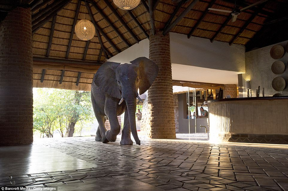 An African Elephant walks through the reception area of the Mfuwe Lodge in South Luangwa National Park