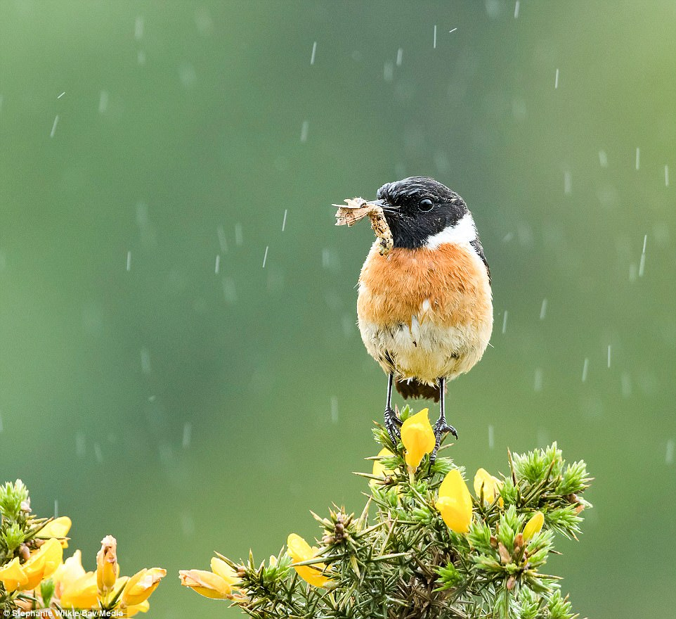 Birding beauty: This photo of a small stonechat sitting in the rain with a grub in its beak was taken in Dorset by Stephanie Wilkie from Dundee
