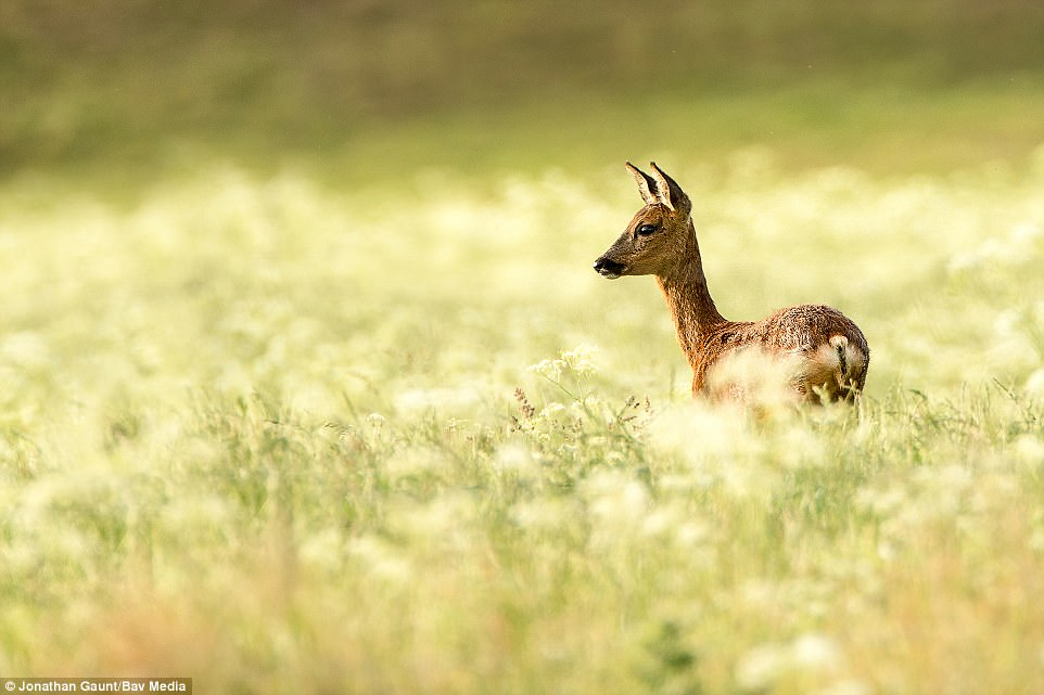 On the hunt: A female roe deer pictured at dawn in a golden field in Northumberland. The shot was taken by Jonathan Gaunt from Roxburghshire