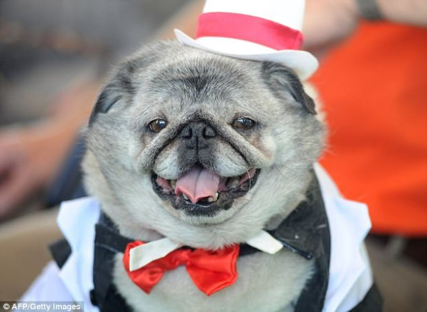 Authorities accused Goss of fraudulently charging $200,000 to a Garland County credit card on purchases including the dog tuxedo (file image), a diamond bracelet, tickets to Arkansas Razorbacks sporting events, sequined throw pillows and pet insurance
