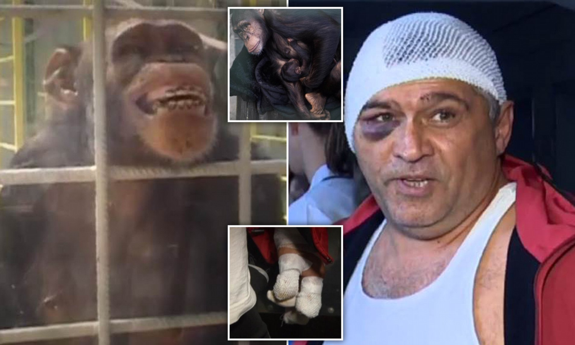 Jealous Chimp Bites Off Zookeeper S Fingers In Ukraine Daily Mail Online