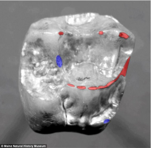 The molar was found to share characteristics with other species, including Lucy ¿ a 3.2 million-year-old skeleton of a human ancestor found in Ethiopia