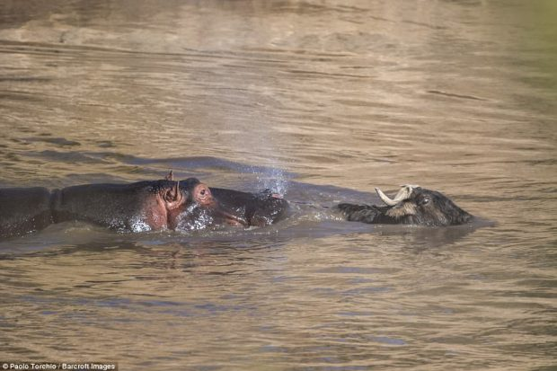Chase: The panic in the wildebeest's eyes is evident as it tries to swim away from the hippo