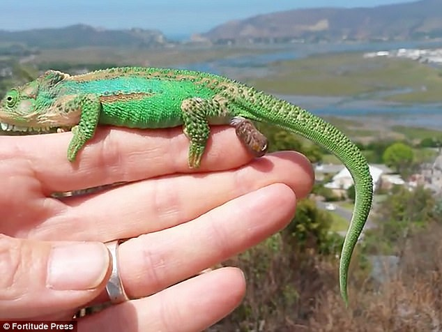 The tiny lizards, which are just a centimetre long, can be seen calmly crawling down Aldo Kleyn's palm just seconds after their mother has given birth