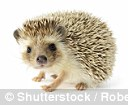 The hedgehog is common in the UK, they are nocturnal and have a wide variety of food sources