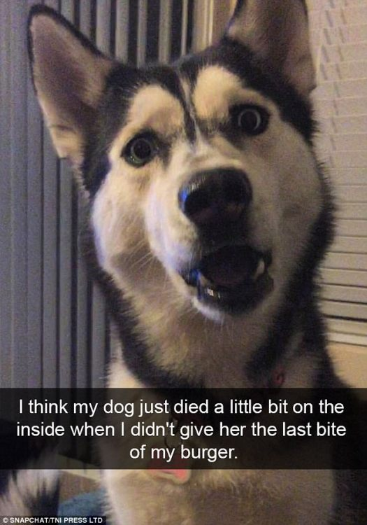 The look of betrayal: This husky cannot believe that his human would refuse to share the last bite of dinner