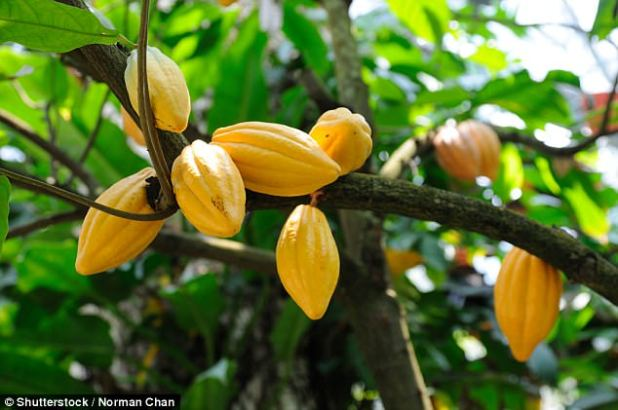 Cacao plants can only grow within approximately 20 degrees north and south of the Equator - and they thrive under specific conditions such as high humidity and abundant rain
