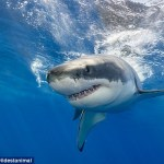Great White shark named Helen attacks and drowns a 32-foot humpback whale