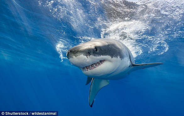 Sharks are the most efficient hunters on earth.  Their original design has never really changed over the course of 200 million years