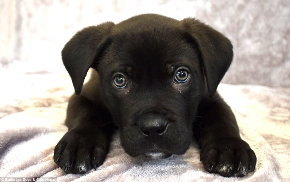 Battersea puppy becomes first Christmas dog to be dumped ...