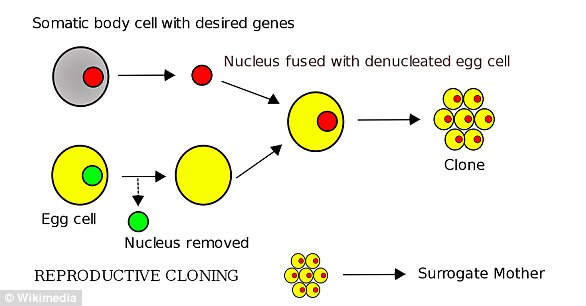 To create somatic cell nuclear transfer (SCNT) clones, scientists take DNA (red circle) from tissue and insert it into egg cells (yellow) with their DNA (green) removed. The scientists then switch on or off certain genes to help the cells replicate (right)