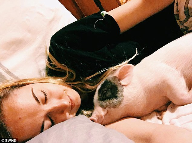 Safe: Miraculously, he recovered thanks to blood transfusion from fellow pig Tickles, and is now fighting fit and living indoors with his family, where he sleeps in a bed with Maddie