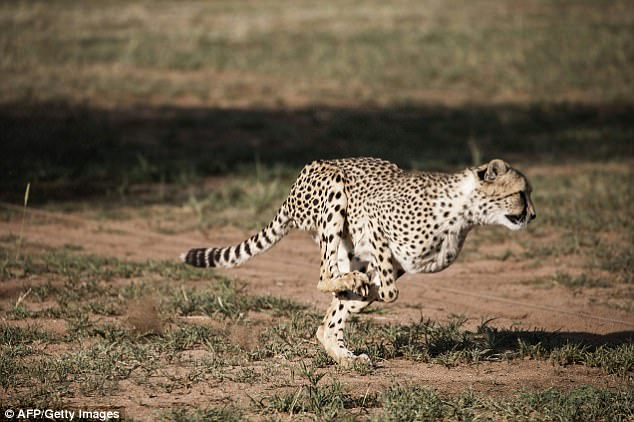 New research from the American Museum of Natural History has found that the modern cheetah's inner ear has adapted to help the animal become faster