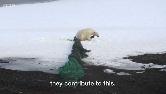 This polar bear is dragging a large fishing net which has been dumped in the ocean