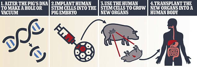 Researchers have previously developed human-pig hybrids but have not yet been able to use the process to grow human organs