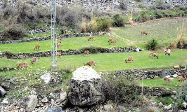 A herd of Kashmir markhor graze in wheat fields of Shoghor, Chitral. — Dawn
