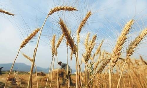 Punjab to restructure wheat market with World Bank assistance - Pakistan 1