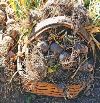Freshly harvested garlic